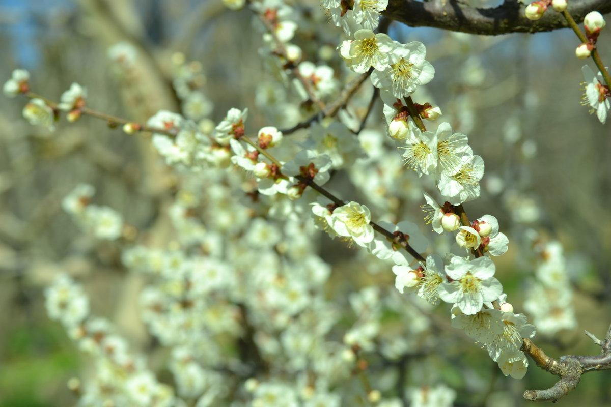 宇治市植物公園の梅