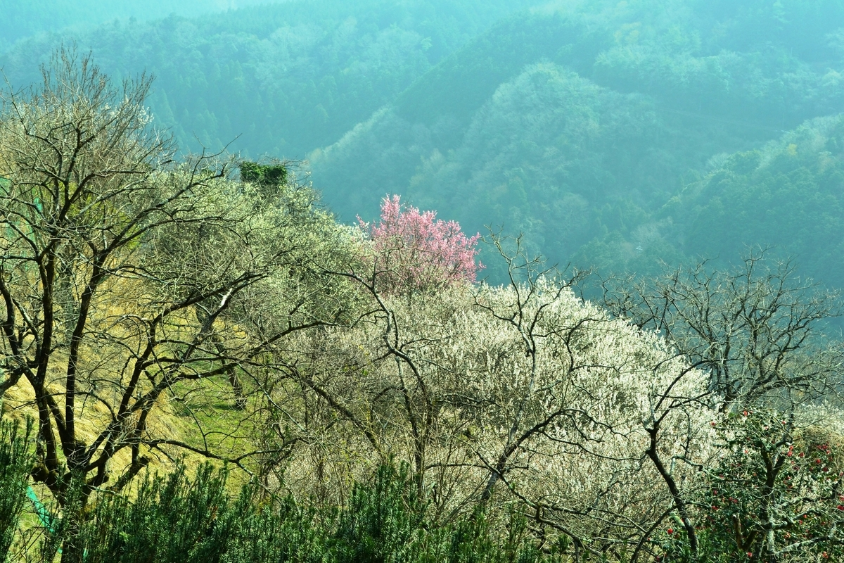 高尾梅林の梅