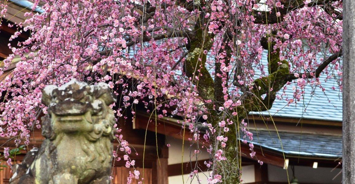 車折神社の枝垂梅