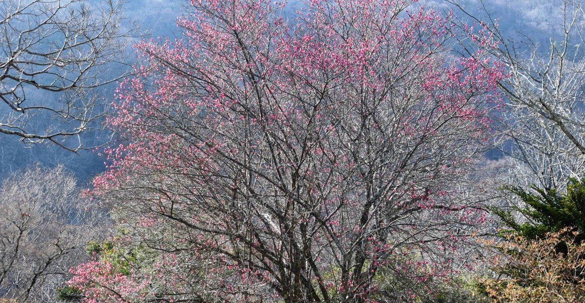 亀山公園の梅