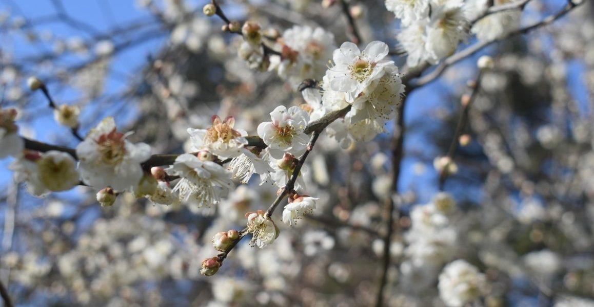 京都府立植物園の梅