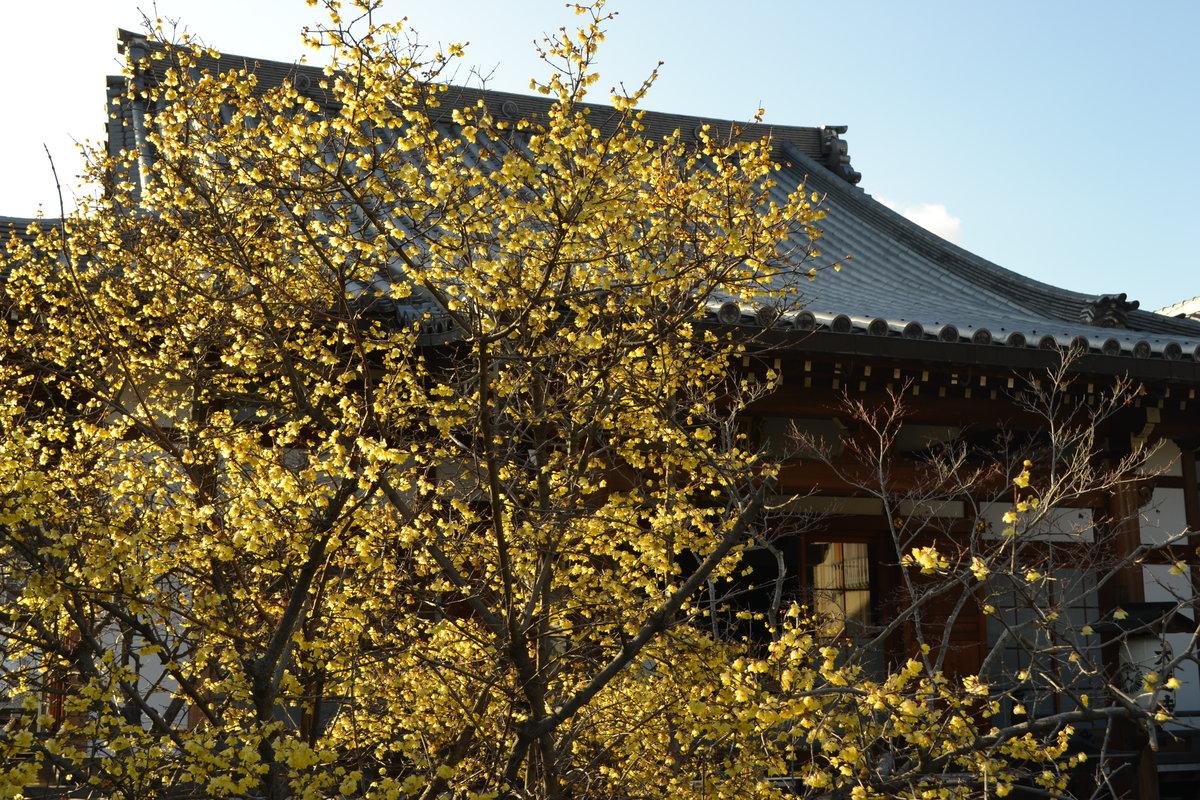 大蓮寺のロウバイ