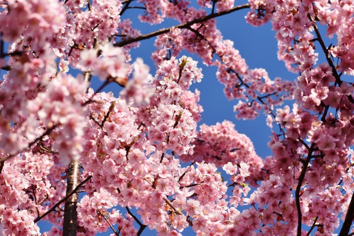 二条大橋西詰の河津桜