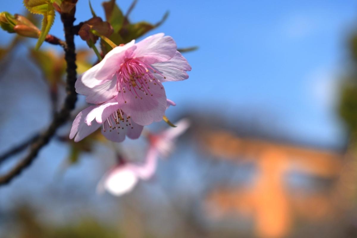 平野神社の河津桜