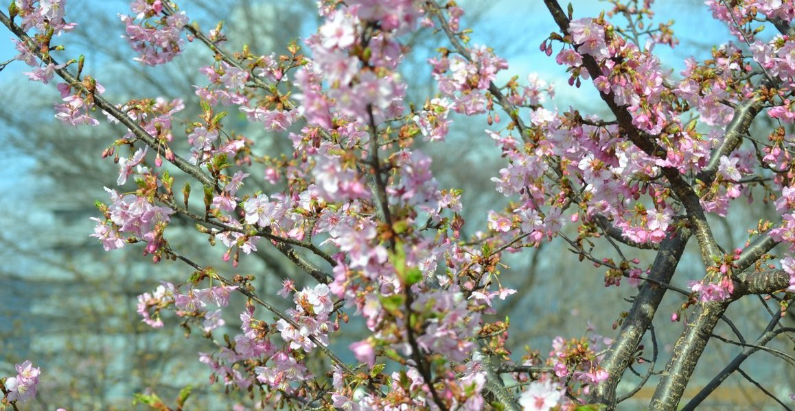淀城の河津桜