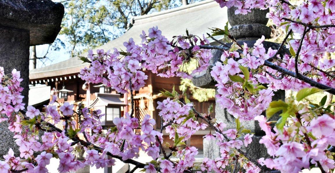 與杼神社の河津桜