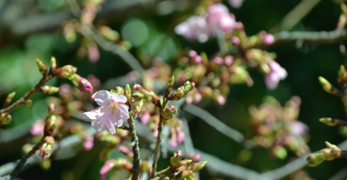 宇治市植物公園の河津桜