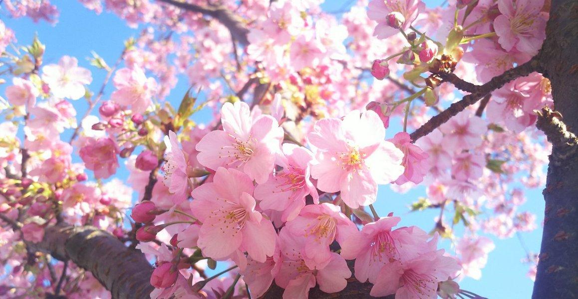 知恩院前の河津桜