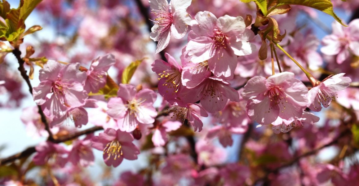 京都府立植物園の河津桜