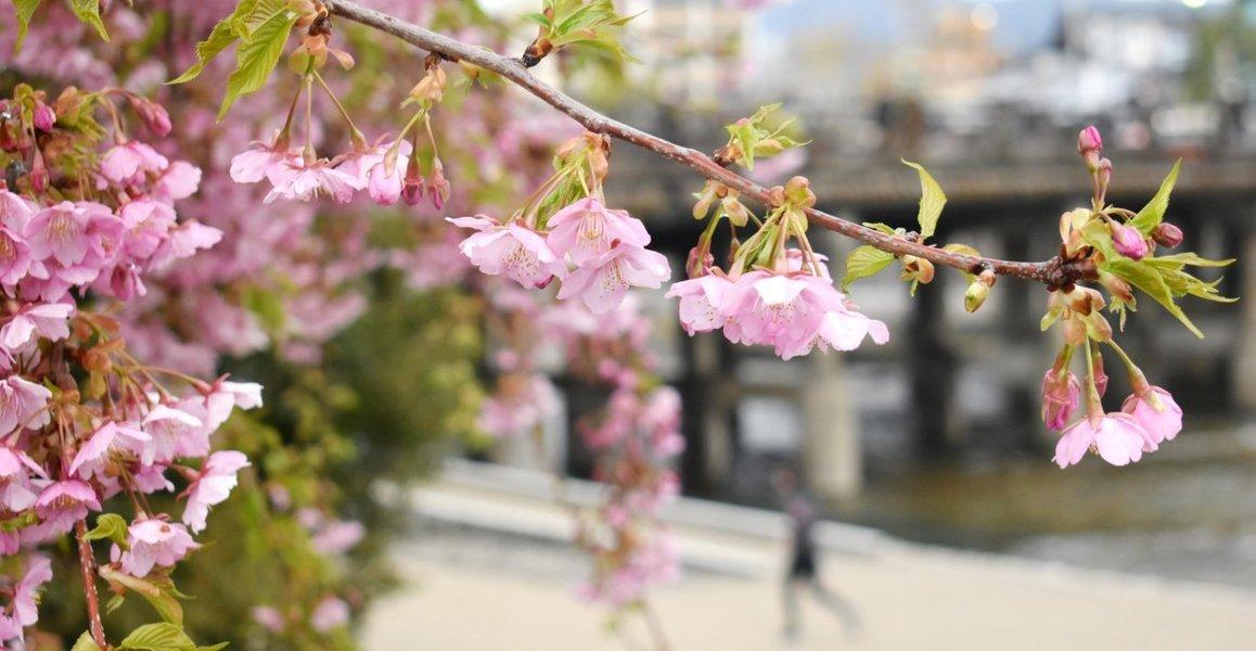 三条大橋西詰の河津桜
