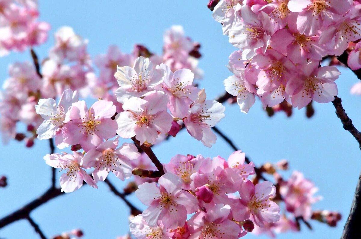 車折神社の河津桜