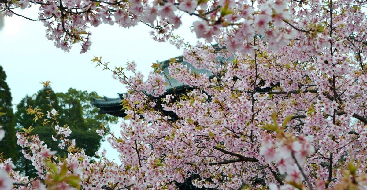 清凉寺の河津桜