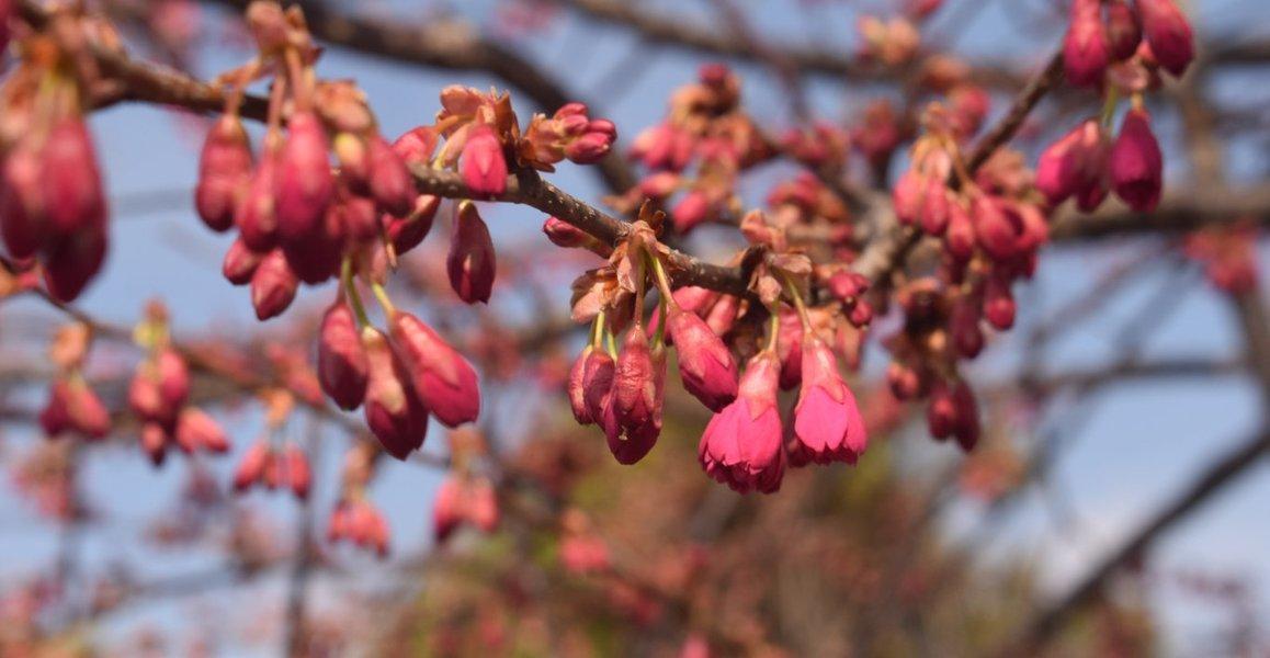 長徳寺の寒緋桜