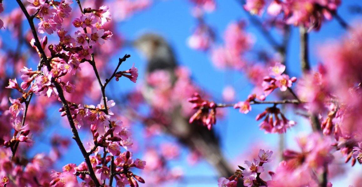 京都府立植物園のオカメ桜