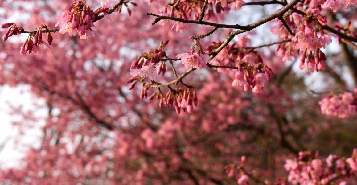 賀茂大橋西詰のオカメ桜