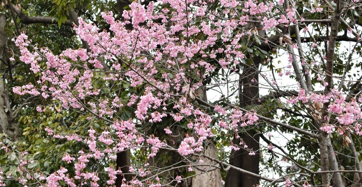 百万遍知恩寺のオカメ桜