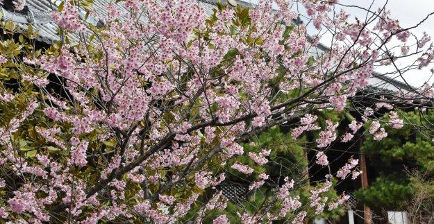 百万遍知恩寺のふじ桜