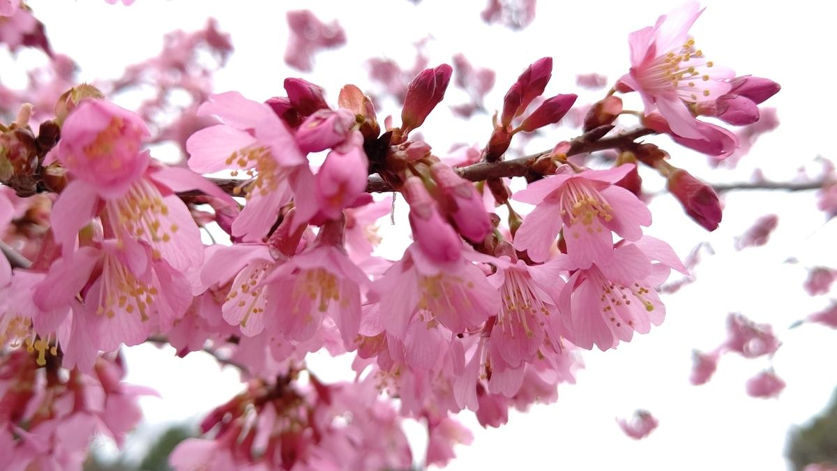 知恩院前のオカメ桜