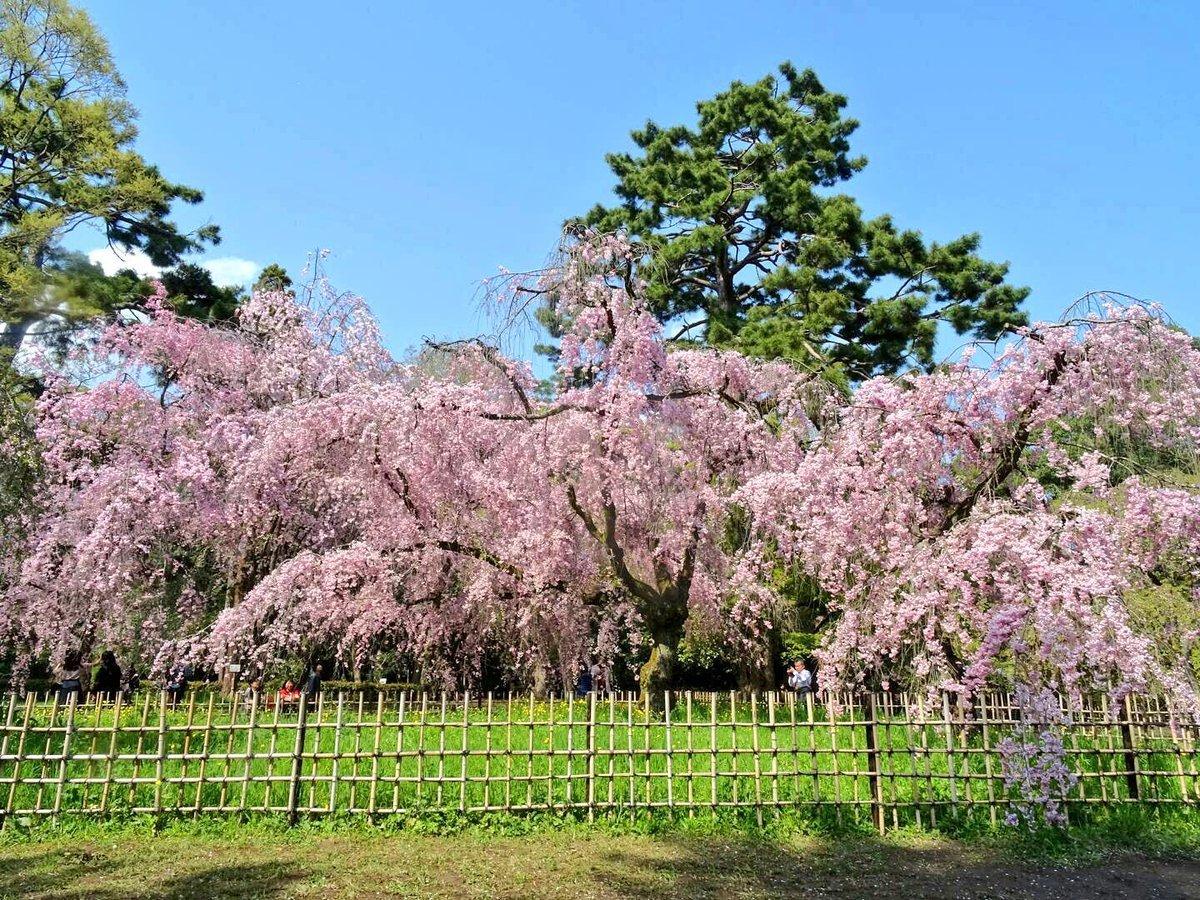 近衛邸跡の八重紅枝垂桜