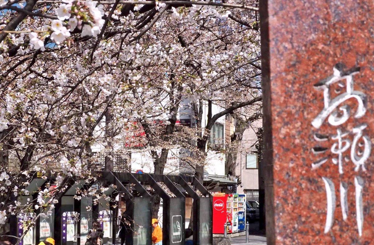 木屋町の桜