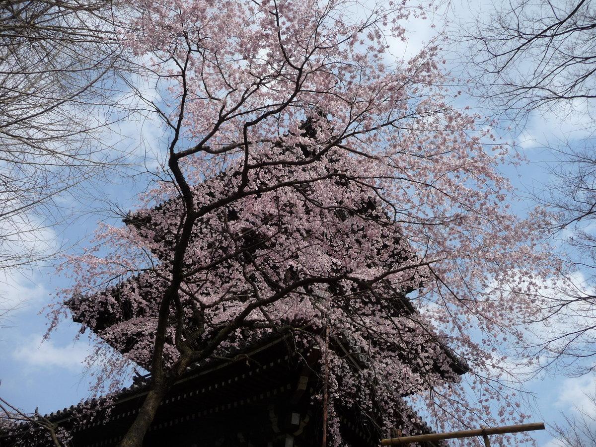真如堂の桜