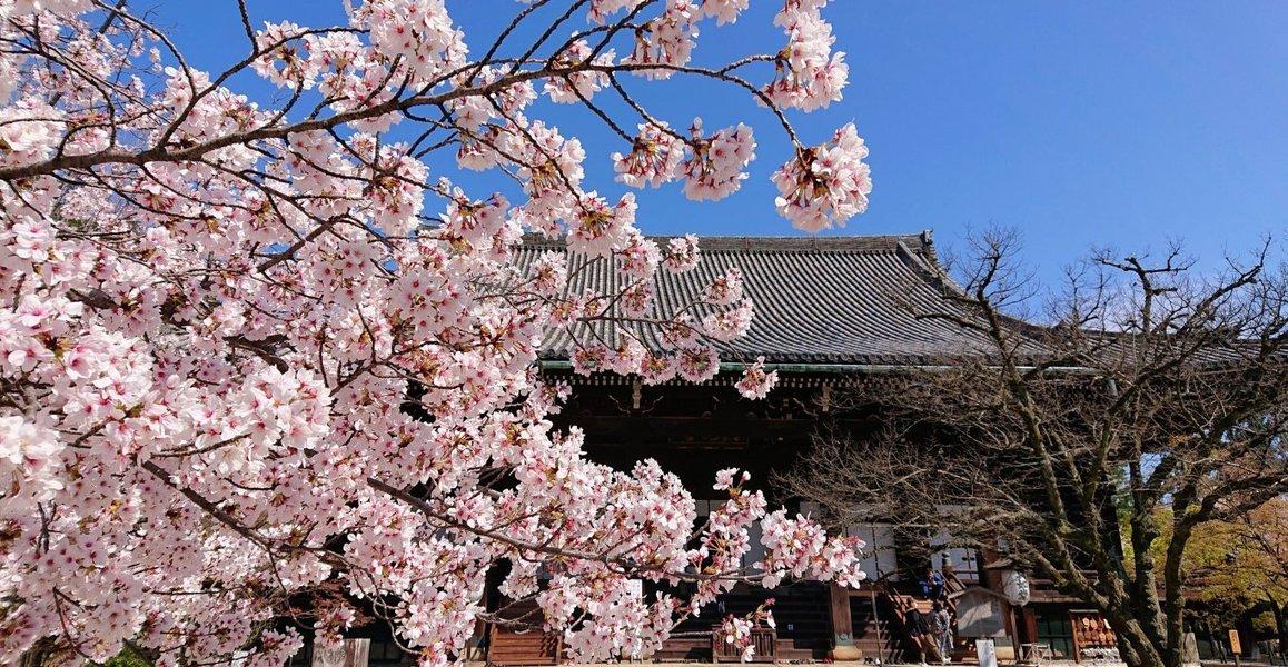 京都 桜 見頃