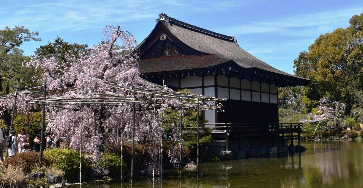 平安神宮の八重紅枝垂桜