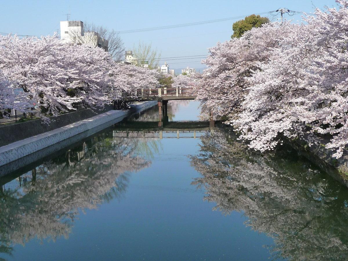 岡崎疎水の桜