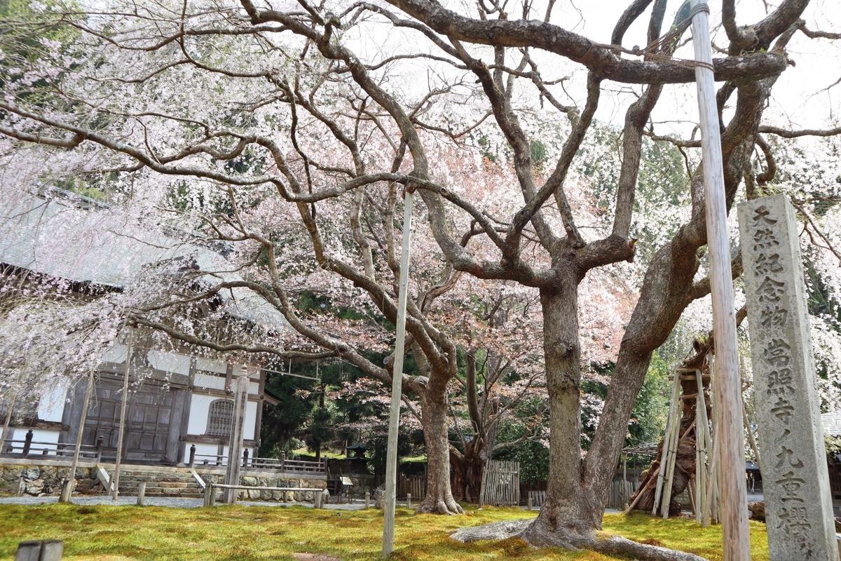 常照皇寺 九重桜
