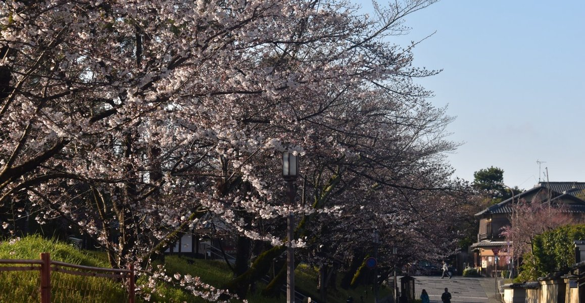 ねねの道の桜
