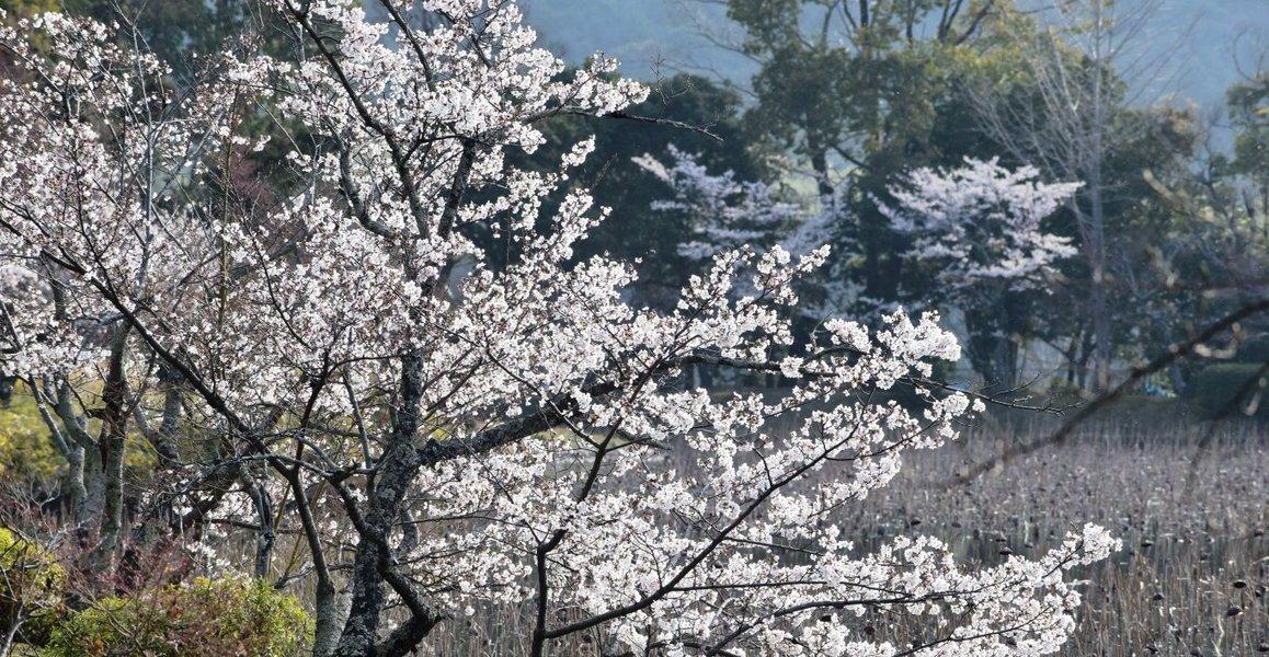 大沢池の桜