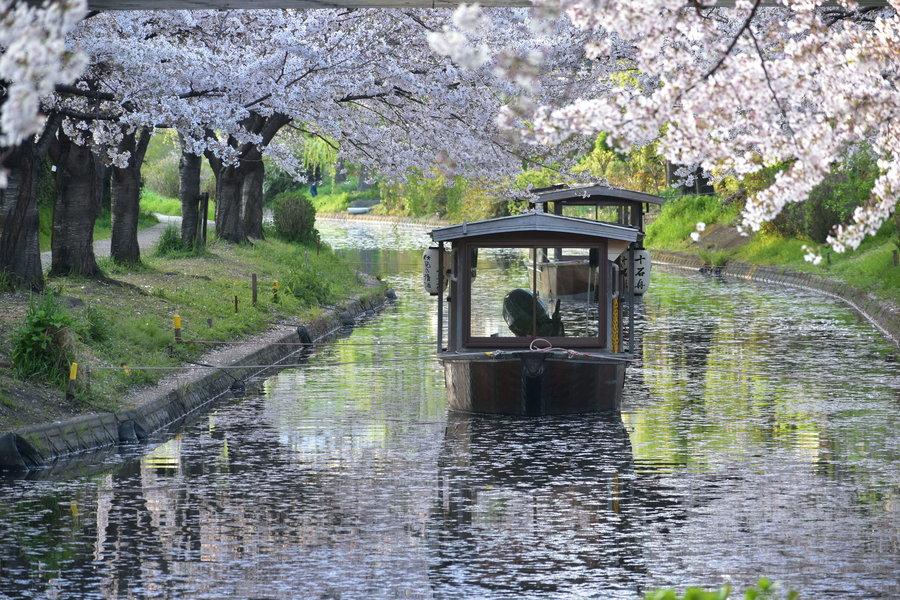 宇治川派流の桜