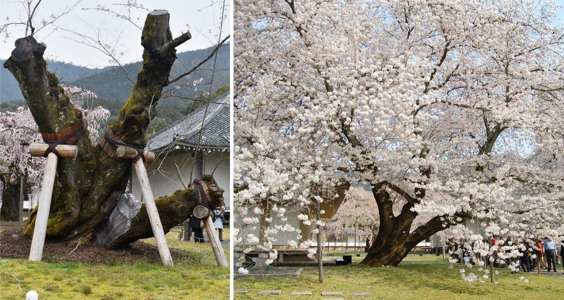 醍醐寺の桜