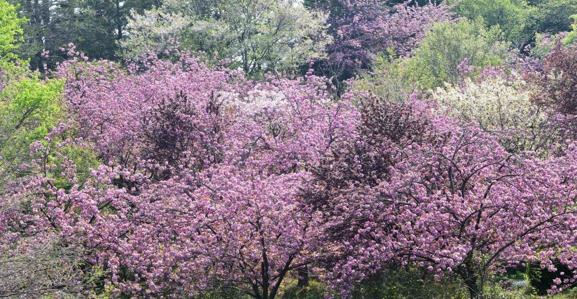 宇治市植物公園の桜