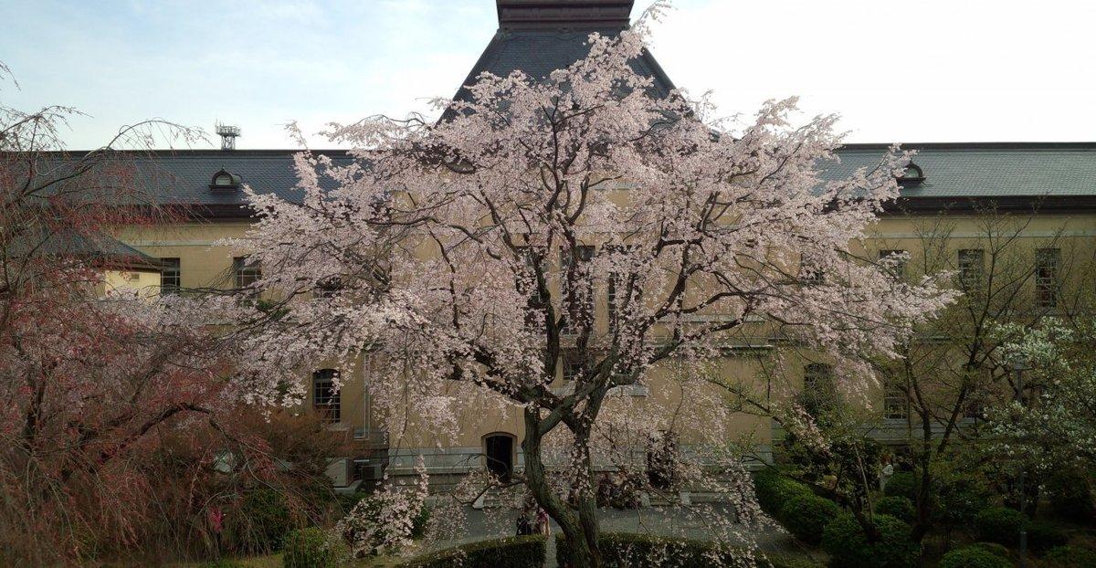 京都府庁旧本館の祇園しだれ桜