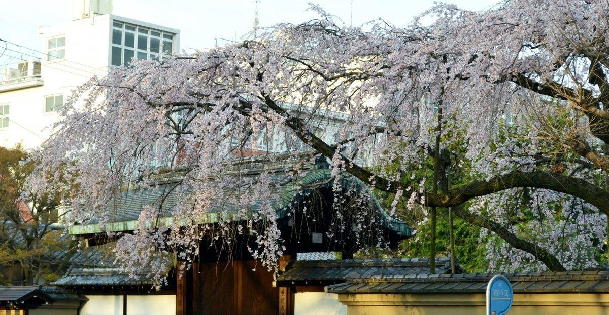 有栖館の枝垂桜