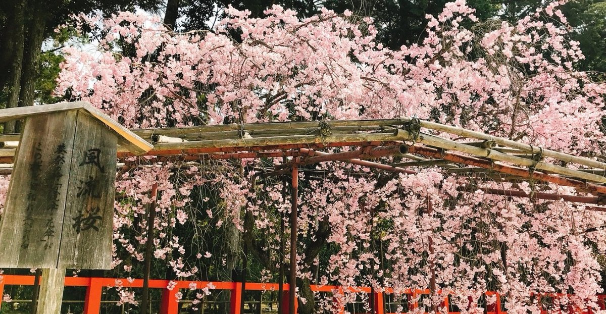 上賀茂神社の桜