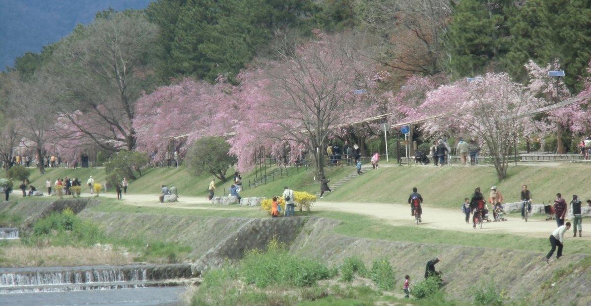 半木の道の八重紅枝垂桜