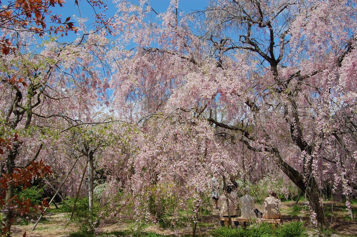 原谷苑の八重紅枝垂桜