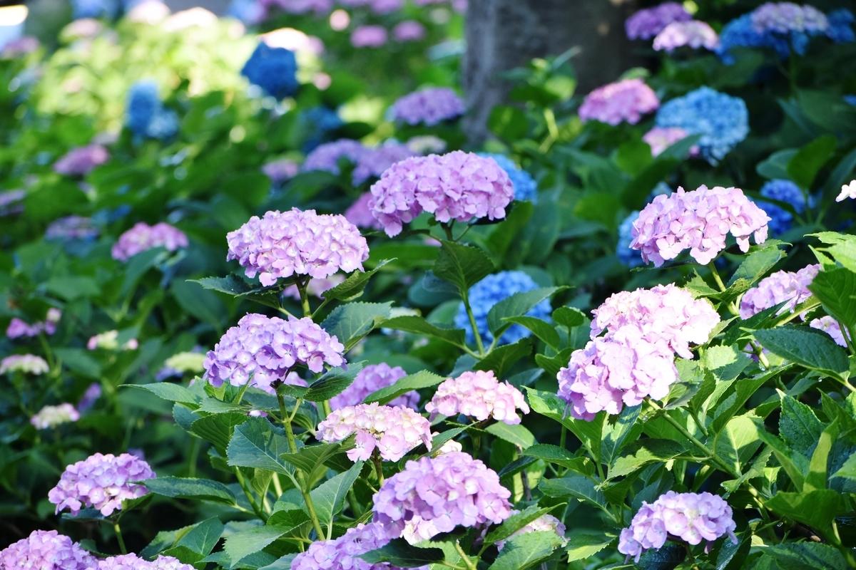 藤森神社 第一紫陽花苑 五部咲き 2020年6月8日 撮影:MKタクシー