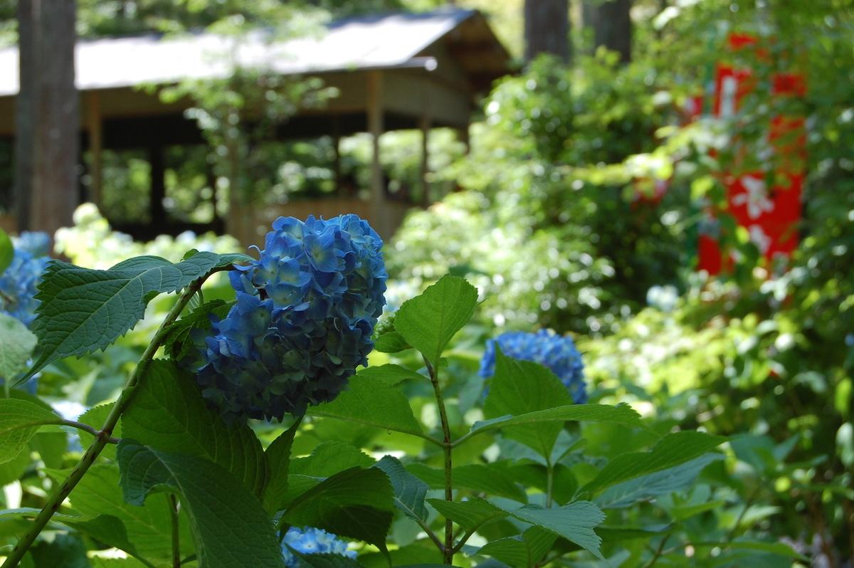 三千院 あじさい 三分咲き 2007年6月16日 撮影:MKタクシー