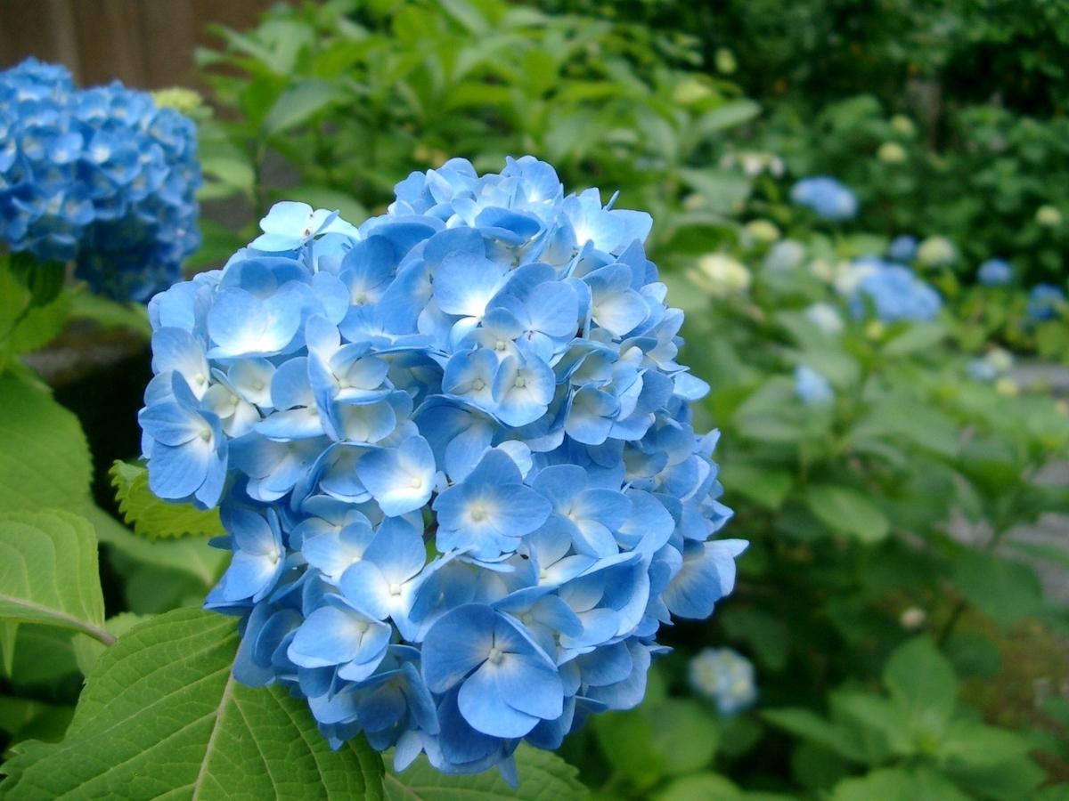 三千院 あじさい 三分咲き 2005年6月17日 撮影:MKタクシー