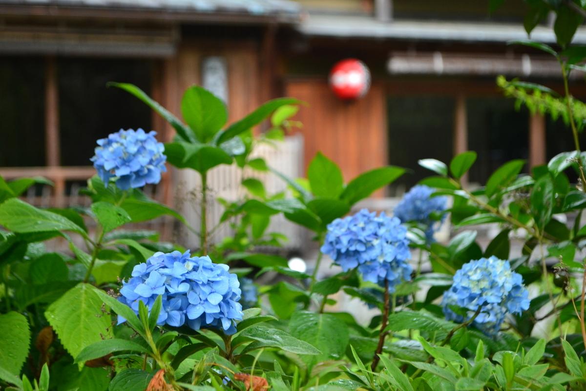 祇園白川 あじさい 五分咲き 2017年6月8日 撮影:MKタクシー