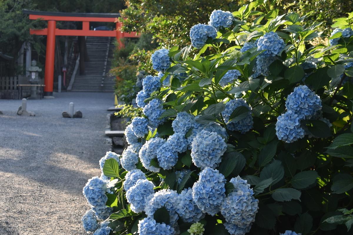 吉田神社 あじさい 見頃 2019年6月26日 撮影:MKタクシー