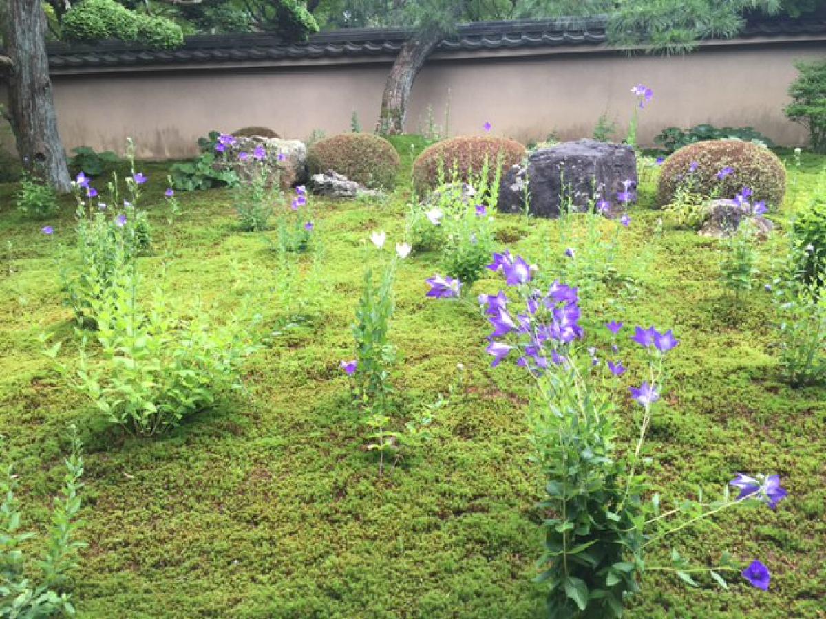 天得院 桔梗 五分咲き 2016年6月27日 撮影:MKタクシー