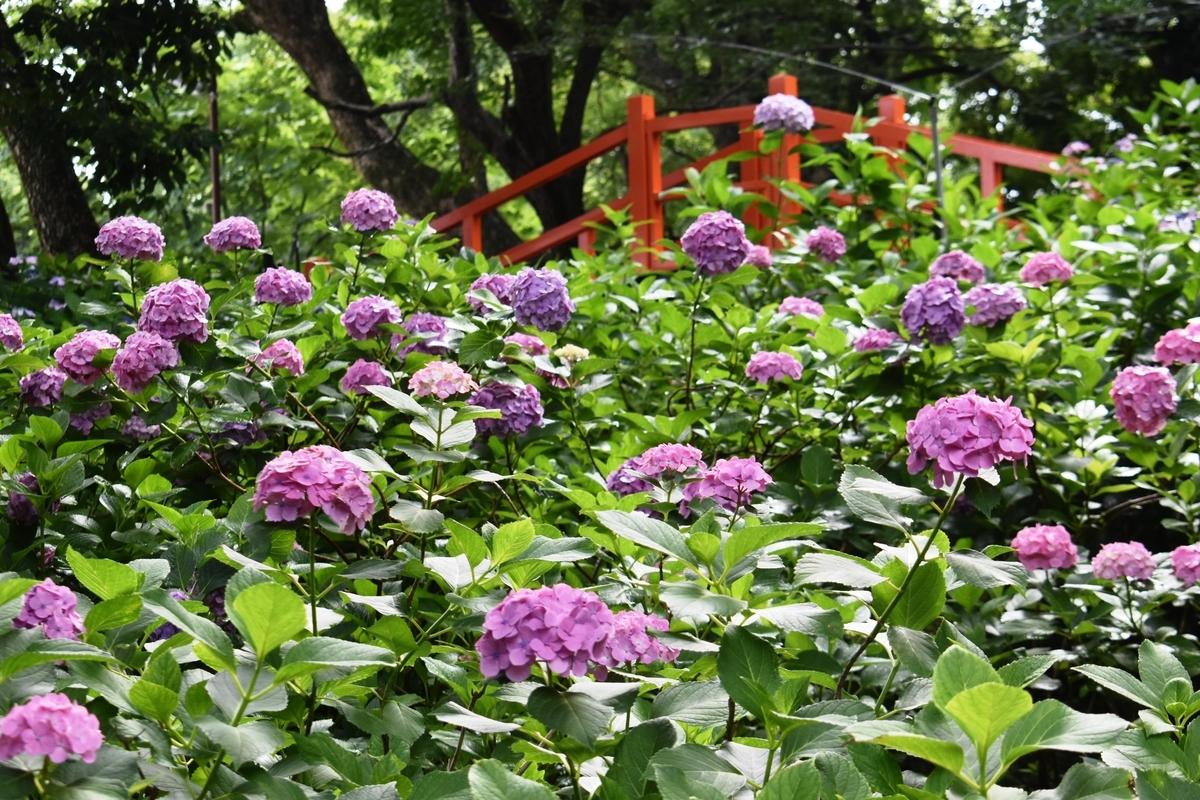 藤森神社 第二紫陽花苑 見頃 2020年6月22日 撮影:MKタクシー