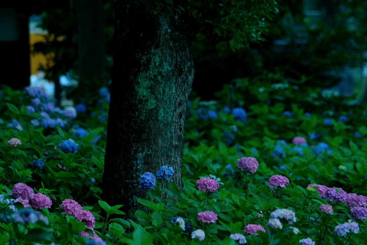 藤森神社 第一紫陽花苑 見頃 2020年6月21日 撮影:MKタクシー