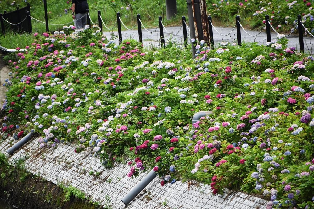 京都市南部クリーンセンター アジサイの小径 2020年6月25日 撮影:MKタクシー
