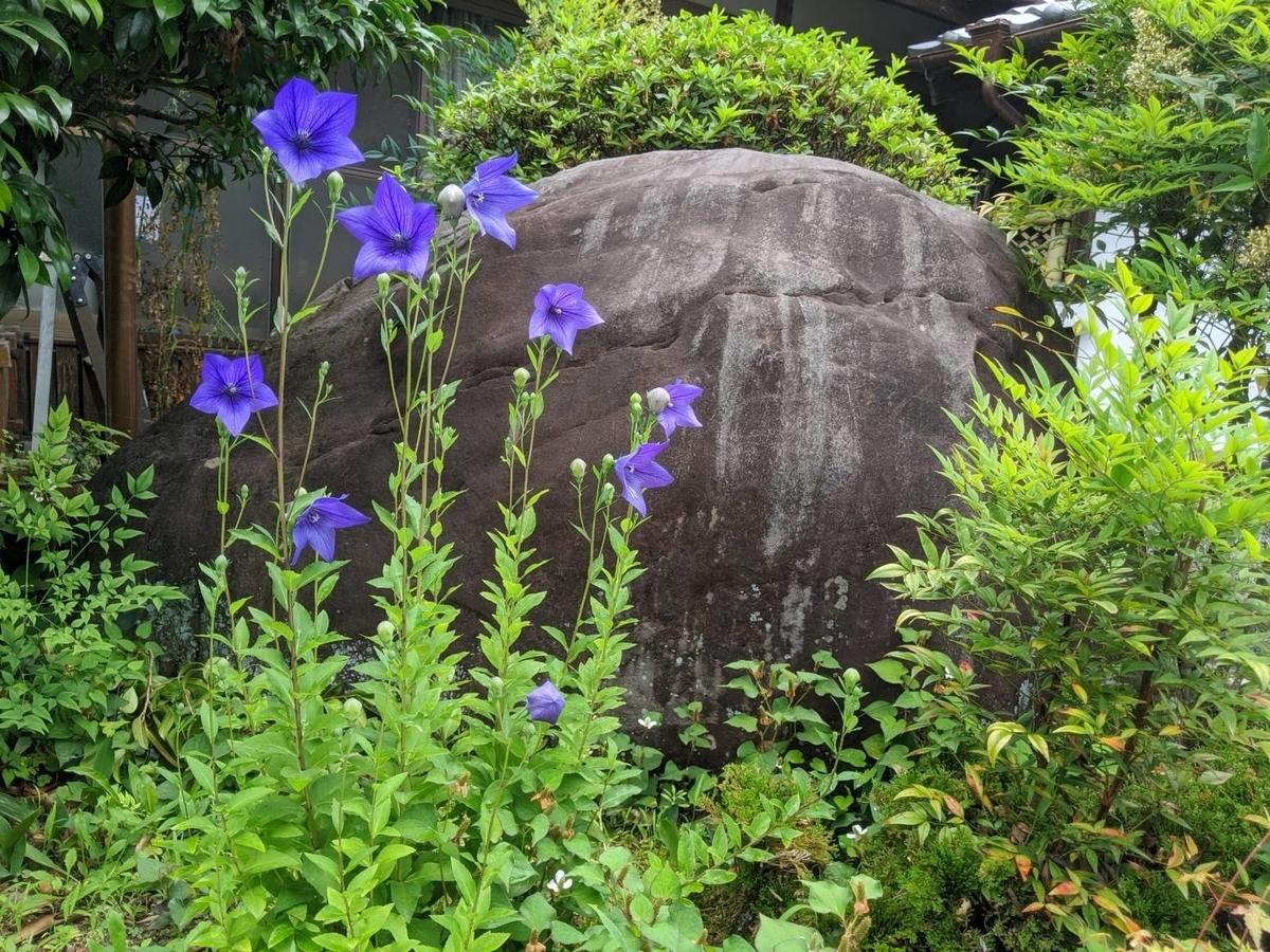 谷性寺 桔梗 五分咲き 2020年6月26日 撮影:MKタクシー