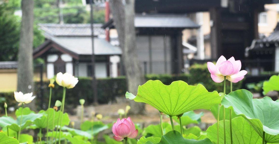 放生池 蓮 五分咲き 2019年7月13日 撮影:MKタクシー
